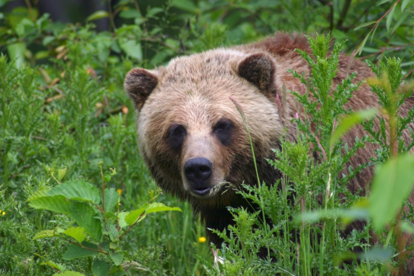 A bear looks at the camera through the grass