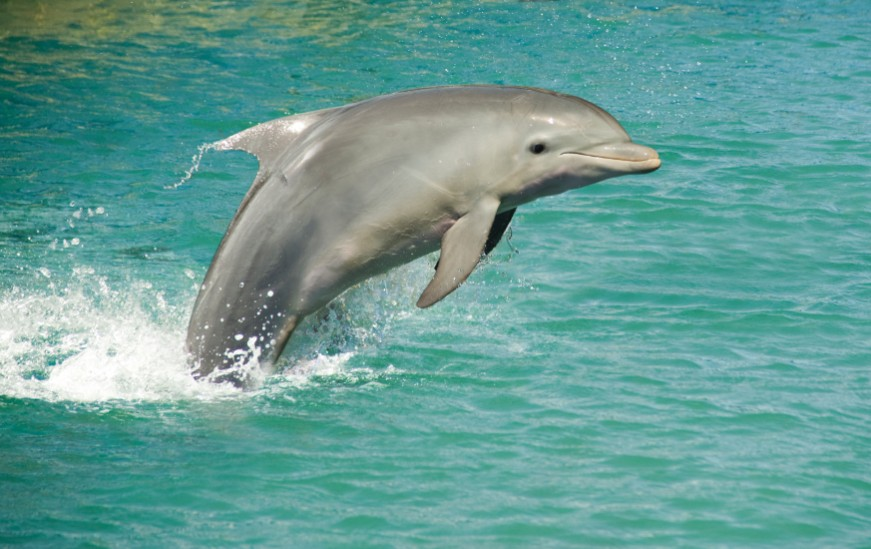 A Dolphin jumping up in the sea